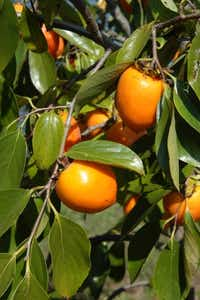 Japanese persimmons are a great choice for North Texas(Howard Garrett/Special Contributor)
