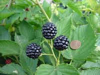 Natchez blackberries are very large, averaging a third of an ounce each.(Texas A&M AgriLife Extension Service/Dr. Larry Stein)