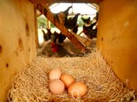 Eggs laid in a nest box of a hen house on the Bois d'Arc farm in Allens Chapel.(Tom Fox/Staff Photographer)