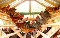 Hens and roosters settle on perches in a hen house on the Bois d'Arc farm in Allens Chapel, Texas.(Tom Fox/Staff Photographer)