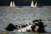 Sailboats ply the waters of White Rock Lake behind birds sunning on a log on Wednesday, April 11, 2018, in Dallas. (Smiley N. Pool/Staff Photographer)