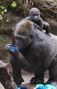 The Dallas Zoo's 7-month-old baby gorilla Saambili rides on the back of her mother, Hope, on Thursday, Jan. 31, 2019, while the gorilla troop attempted to pick a Super Bowl winner.(Courtesy/Dallas Zoo)