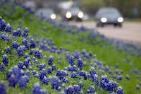 Bluebonnets seen on a hillside next to I-45 on Sunday, March 25, 2018, in Ennis, Texas. (Smiley N. Pool/The Dallas Morning News)(Smiley N. Pool/Staff Photographer)