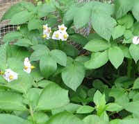 Vines and flowers of potatoes(Howard Garrett/Special Contributor)