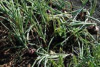 Onions growing in a field(Howard Garrett/Special Contributor)