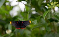 A red-bordered Pixie butterfly at the National Butterfly Center in Mission.(Suzanne Cordeiro/Agence France-Presse)