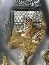 A tiger found at a Houston home is being prepared for transport from Houston to the Cleveland Amory Black Beauty Ranch on Tuesday. The tiger was found in a cage in the garage of a home in the 9400 block of East Avenue J after an anonymous tipster called 311 to report the animal. (The Humane Society of the United States)