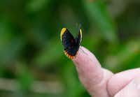 A red-bordered pixie butterfly at the National Butterfly Center  in Mission, Texas.(Suzanne Cordeiro/Agence France-Presse)