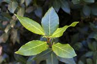 A bay leaf bush(Kayana Szymczak)