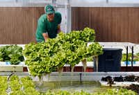 Profound Microfarms owner Jeff Bednar harvests lettuce to fulfill an order inside the hydroponics greenhouse at Profound Microfarms in Lucas.(Vernon Bryant/Staff Photographer)