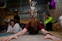 A goat stands on the back of Shirley Hamblin while she performs a child pose during a goat yoga session at Shade Home and Garden in Orem, Utah. (Evan Cobb/The Washington Post)