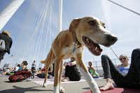 """A dog named Maggie strolled between yoga enthusiasts on the Margaret Hunt Hill Bridge during the All Out Trinity Festival.(<p>2015 File Photo/<strong style=""""font-size: 1em; background-color: transparent;"""">Ben Torres</strong></p><p></p>/<p><br></p>)"""
