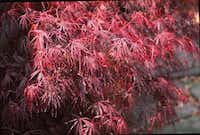 The Crimson Queen Japanese maple tree shows beautiful new spring growth.(Howard Garrett/Special Contributor)