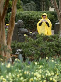 Junkai Zhong snapped a photo of a statue of William Shakespeare in the rain at the Dallas Arboretum on Feb. 22, 2019. (Rose Baca/Staff Photographer)
