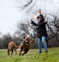 Melanie Wisniewski played fetch with her dogs, Nibbles (right) and Cassia, in 24-degree weather in East Dallas on the morning of March 4, 2019.(Rose Baca/Staff Photographer)