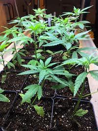 Cannabis seedlings grow under lights.(Mary Esch/The Associated Press)
