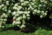 Chinese photinia (Photinia serrulata) is a good-looking, tough, trouble-free evergreen with pretty new foliage growth in the spring followed by dramatic white flowers.(Howard Garrett/Special Contributor)