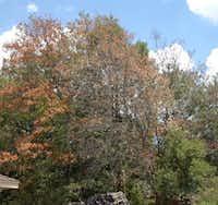 Red oak trees are susceptible to oak wilt disease.(Howard Garrett/Special Contributor)