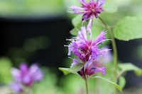 An appealing perennial for summer to fall color, Agastache Blue Boa is one of several heat and humidity tolerant plants on display at the Texas Discovery Gardens.(Texas Discovery Gardens)