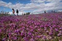 People walked among wildflowers in bloom near Borrego Springs, Calif., on March 6. (Gregory Bull/The Associated Press)