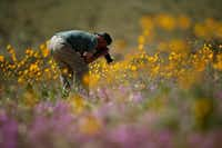 "A man photographs wildflowers near Borrego Springs, Calif. The region is experiencing its second ""super bloom"" in two years. (Gregory Bull/The Associated Press)"