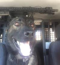 Koba, a North Richland Hills police dog, is back on the job after being shot Jan. 14 while assisting police on a call.(North Richland Hills Police Department)