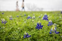 People walk among bluebonnets in Bluebonnet Park on Sunday, March 25, 2018, in Ennis, Texas. (Smiley N. Pool/The Dallas Morning News)(Smiley N. Pool/Staff Photographer)