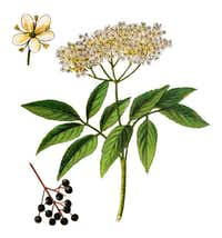 The white elderflowers of the elderberry plant can be used to make a syrup that brings fruity and floral notes to your recipes.(Getty Images)