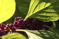 American beautyberry in the front yard of Suzy and Rob Renz's home in Dallas.(Vernon Bryant/Staff Photographer)