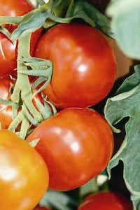The 'Early Girl' tomato is a proven all-round early hybrid.(Courtesy of Bonnie Plants)