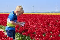 "<p>A boy takes photos of the rows of colorful flowers in&nbsp;<span style=""font-size: 1em; background-color: transparent;"">Noordoostpolder, a destination popular with Dutch families.&nbsp;</span></p>(Pim van der Maden/Visit Flevoland)"