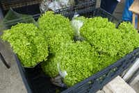 Texas Fungus was selling this unusual, frilly green incised lettuce at White Rock Farmers Market.(Kim Pierce/Special Contributor)