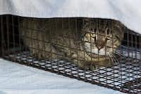 A captured feral cat is held in a cage in the back of volunteer cat trapper Robyn's vehicle at an apartment complex near Cedar Springs Road in Dallas.(Daniel Carde/Staff Photographer)