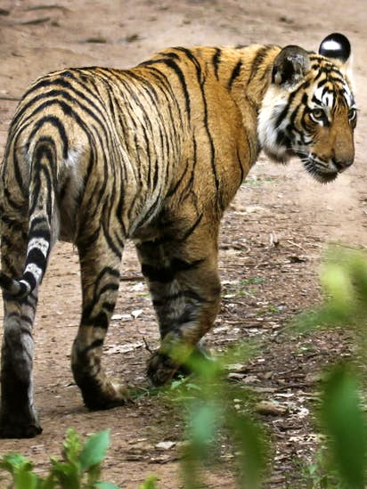 Eager to see big cats in the wild? Visit India's 'Tiger State