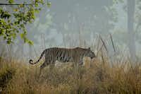 A tigress walks along a ridgeline in India's Kanha National Park.(Mark Johanson/Chicago Tribune)