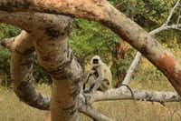 Gray langurs and deer have a symbiotic relationship in the parks of Madhya Pradesh, warning each other of approaching tigers. (Mark Johanson/Chicago Tribune)