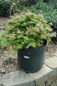 This 7-gallon dwarf Japanese maple tree purchased at a nursery is planted too deep in its container.(Howard Garrett/Special Contributor)