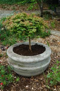 Howard Garrett's dwarf Japanese maple has flourished, loves its home in the big concrete pot, has had literally no insect pest or disease issues and has grown beautifully for years.(Howard Garrett/Special Contributor)