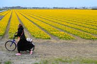 A tourist pushes her bicycle after taking pictures in a field of flowers in Lisse, Netherlands. Dutch farmers are trying to prevent visitors from trampling their flowers.(Peter Dejong/The Associated Press)