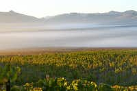 Fog rolls through McEvoy Ranch's Azaya Vineyard in the Petaluma Gap in the far northern Marin County.(McEvoy Ranch)