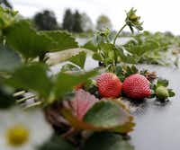 Strawberries at Highway 19 Produce & Berries in Athens(Vernon Bryant/Staff Photographer)