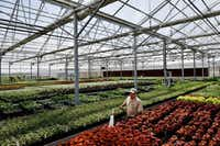 Senior gardener Domingo Celis, 46, spreads water along flower beds at Dallas Arboretum's newest greenhouse, The Tom and Phyllis McCasland Horticulture Center.(Ben Torres/Special Contributor)