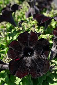 Crazytunia Black Mamba Petunia grown at the Dallas Arboretum's newest greenhouse, The Tom and Phyllis McCasland Horticulture Center.(Ben Torres/Special Contributor)
