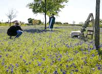 Jenny Burns of jujuB Photography takes senior pictures of Reedy High School (Frisco ISD) student Landry Thompson in a bluebonnet field in a median on W. Bethany Drive in Allen, Texas on April 14, 2019.(Brian Elledge/Staff Photographer)