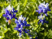 Lupinus texensis, the Texas bluebonnet or Texas lupine, is the state flower of Texas. Reports say Texas is having one of its best wildflower seasons in years. Bluebonnets typically bloom until mid-April then begin to fade, but will vary by area.(Brian Elledge/Staff Photographer)