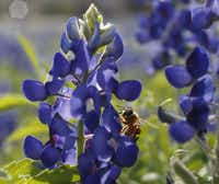"<p>A bee collects pollen from a bluebonnet on April 15 in a field near Zion Cemetery in Frisco. The cemetery and the area around it are known locally as an annual hot spot for bluebonnets. <span style=""font-size: 1em; background-color: transparent;"">Lupinus texensis, the Texas bluebonnet or Texas lupine, is the state flower of Texas. Reports say Texas is having one of its best wildflower seasons in years. Bluebonnets typically bloom until mid-April then begin to fade, but will vary by area.</span></p>(Vernon Bryant/Staff Photographer)"