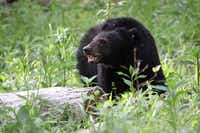 Black bear sightings are common in Great Smoky Mountains National Park.(Warren Bielenberg/National Park Service)