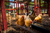 "Students work in the coop with chickens at Moss Haven Farm during ""A Peep at the Coops"", a tour of seven private, urban chicken coops, on May 6, 2018, in Dallas. (Smiley N. Pool/Staff Photographer)"