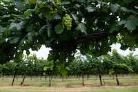 Grapevines at Eden Hill Vineyard & Winery in Celina, Texas on June 1, 2017. (Nathan Hunsinger/Staff Photographer)