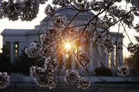 Morning is a great time to see the Jefferson Memorial — and the thousands of cherry blossoms that surround the Tidal Basin.(Alex Wong/Getty Images)
